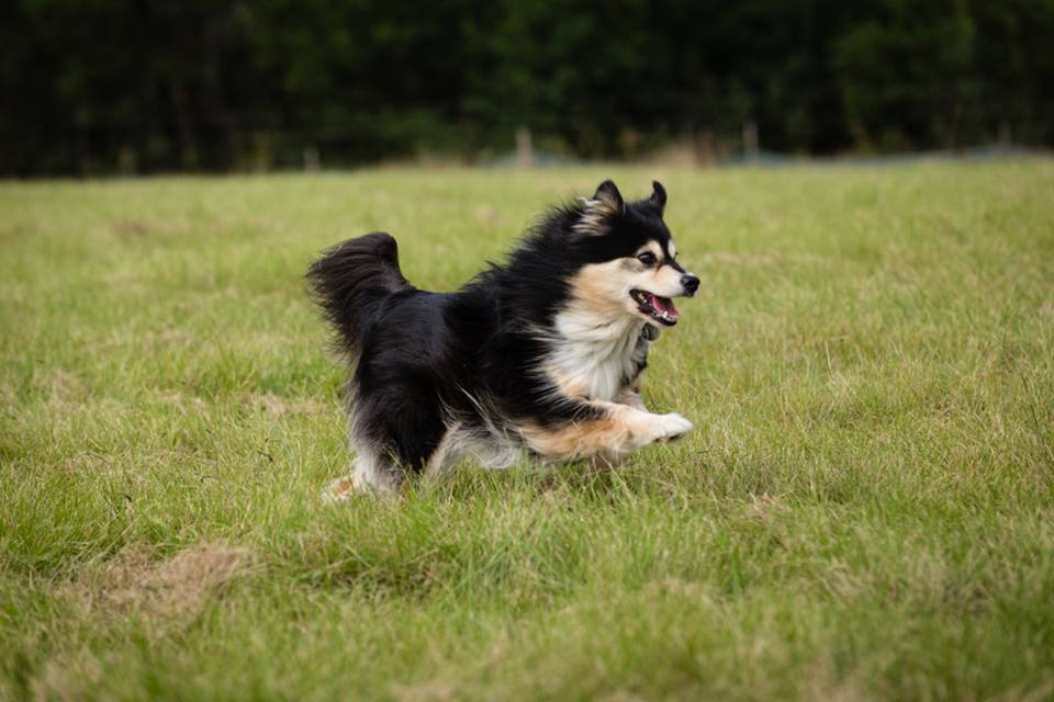 Ahsoka the finnish lapphund lure coursing