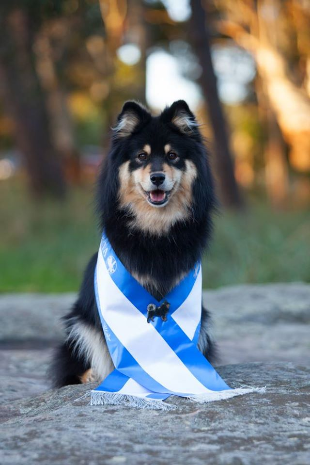 Contact finnish lapphund breeder
