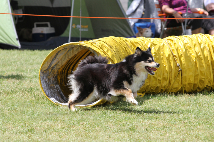 Ahsoka the finnish lapphund doing agility