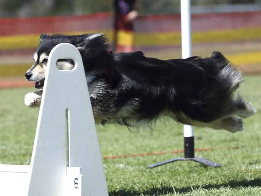 Ahsoka doing flyball
