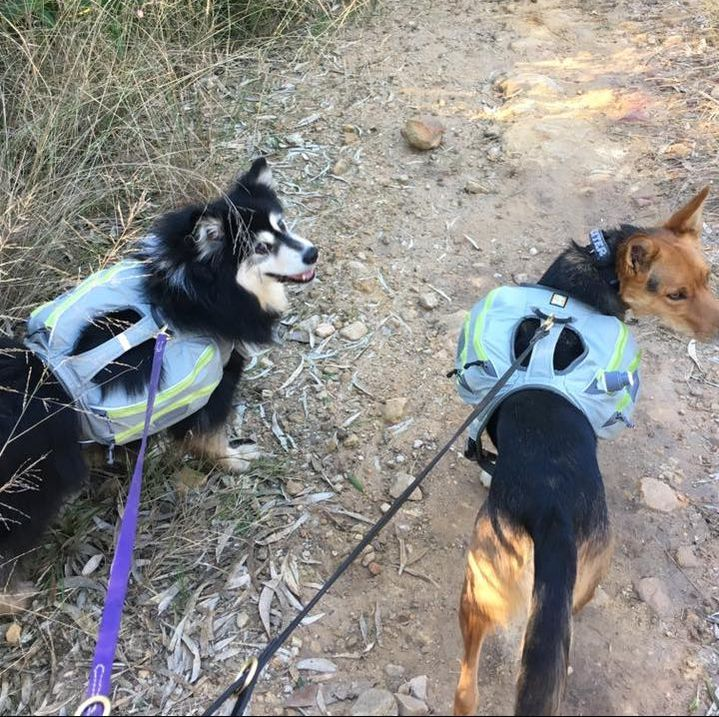 Ahsoka the finnish lapphund backpacking with Dexter