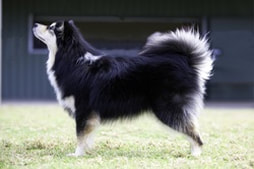 Ahsoka the finnish lapphund stacked for the show ring