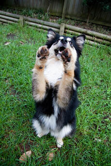 Ahsoka the finnish lapphund doing trick dog
