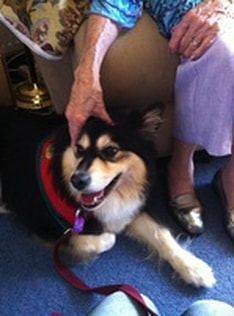 Ahsoka the finnish lapphund doing therapy work for Delta Therapy Dogs