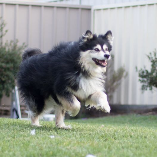 Ahsoka running in the backyard