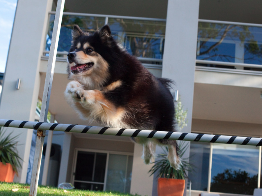 Ahsoka jumping for trick dog